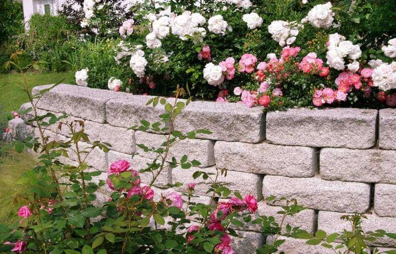 Ramblerrosen sorten und einsatzbereiche galanet for Gartengestaltung rosen
