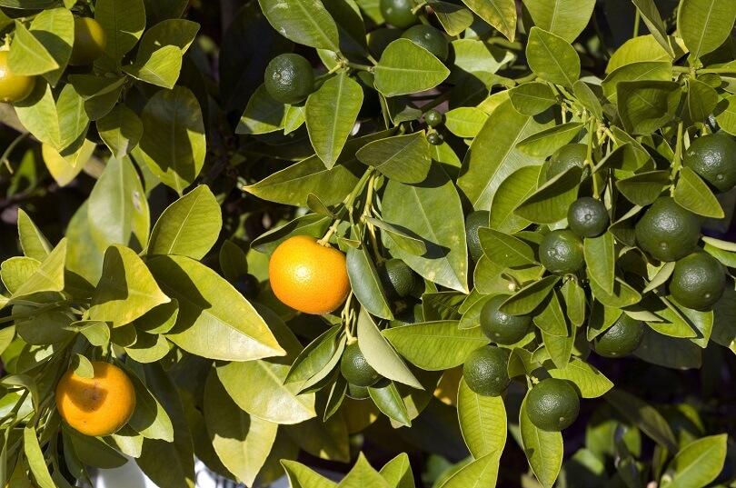 Zitruspflanzen Richtig Pflegen |tipps Im Galanet-blog Richtige Pflege Von Zitruspflanzen