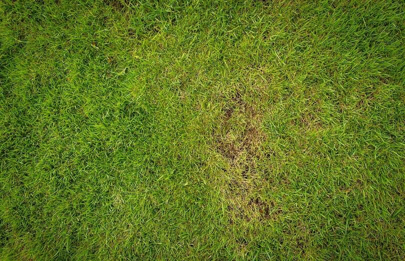 Dollerflecken im Rasen