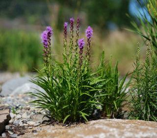 Steingarten  Pflanze
