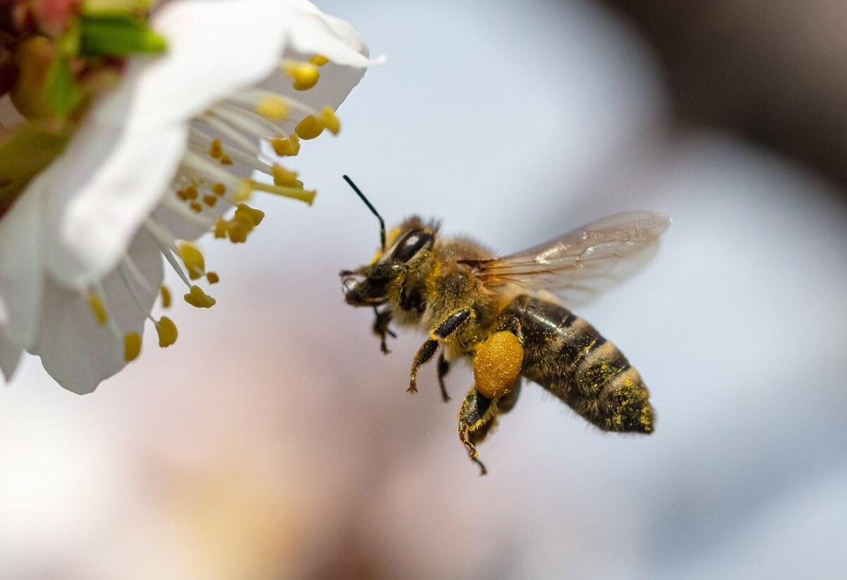 Biene sammelt Nektar