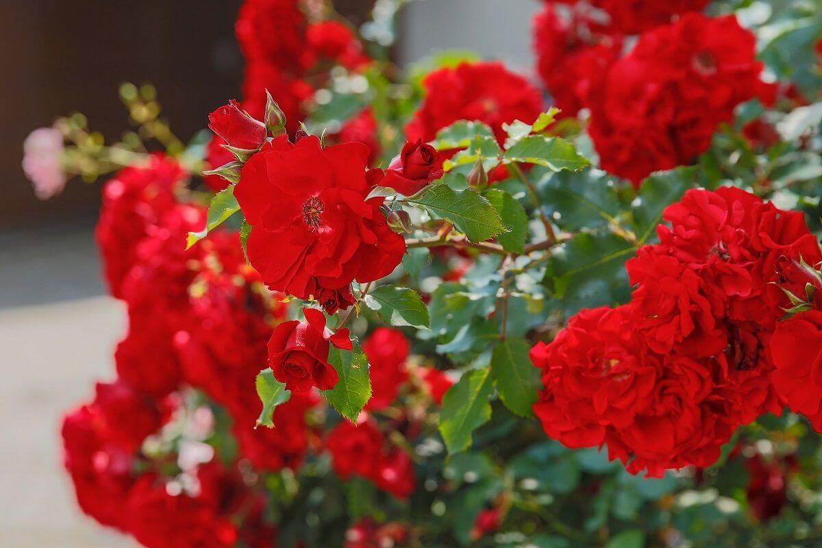 Duftpflanze Rose